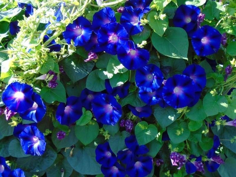 Красавица ИПОМЕЯ пурпурная 🌺 идеальна для оформления террасы или балкона!