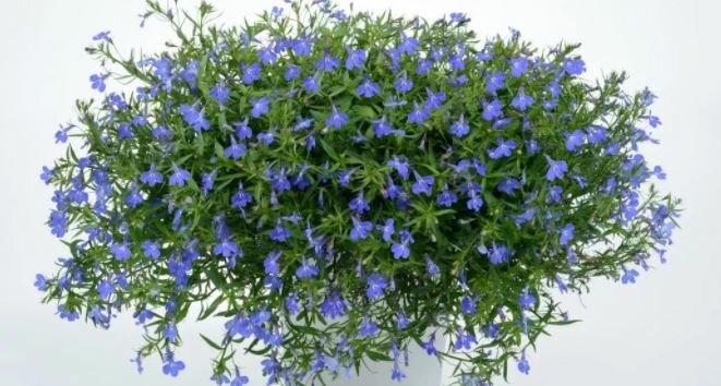 Лобелия ампельная – как вырастить рассаду, когда сажать и как добиться пышного цветения уже к лету