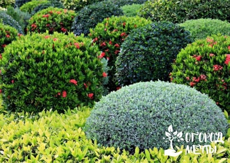 Лучшие многолетние кустарники для садового участка