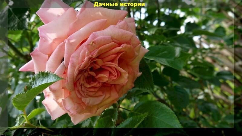 Обрезка плетистой розы осенью. Правильный уход за розами осенью