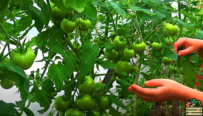 Подкармливаю свои томаты водкой, и все соседи восхищаются моим урожаем! Делюсь рецептом, который пригодится Вам в следующем году