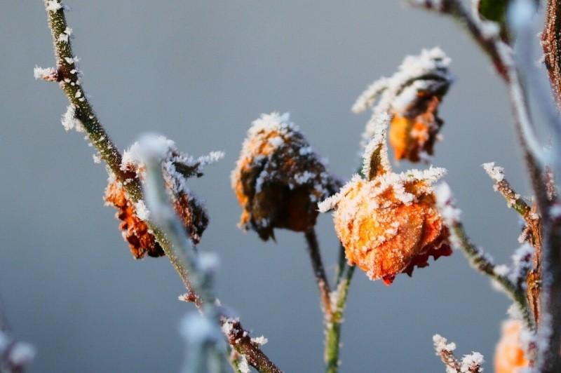 Правила обрезки роз на зиму: никаких потерь, а только пышное цветение