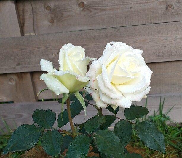 Укоренение черенков розы готово.