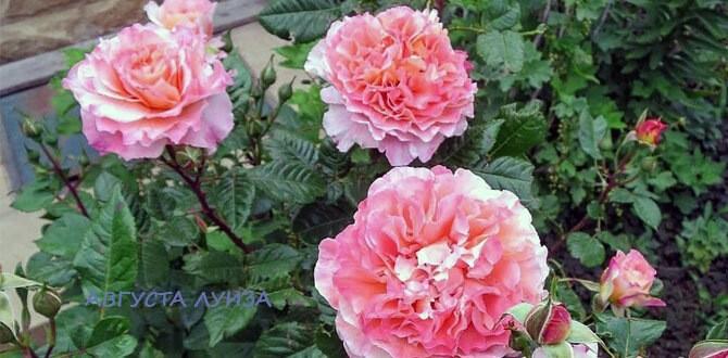 Выбираем сорта роз, которые цветут все лето и практически не болеют