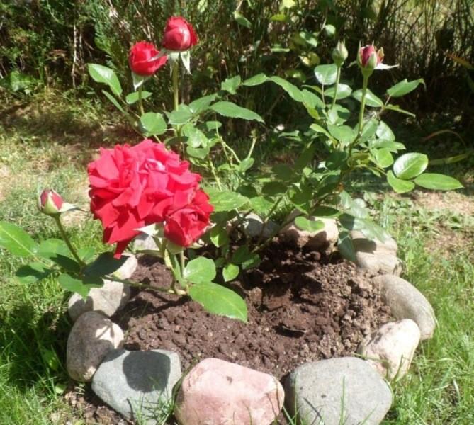 102 РОЗЫ. 🌹 Ингрид Бергман. Чайно-гибридная, бархатная моя роза.