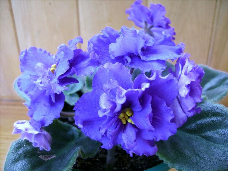3 простых действия, после которых фиалки у меня цветут «шапками» и долго держат цветы