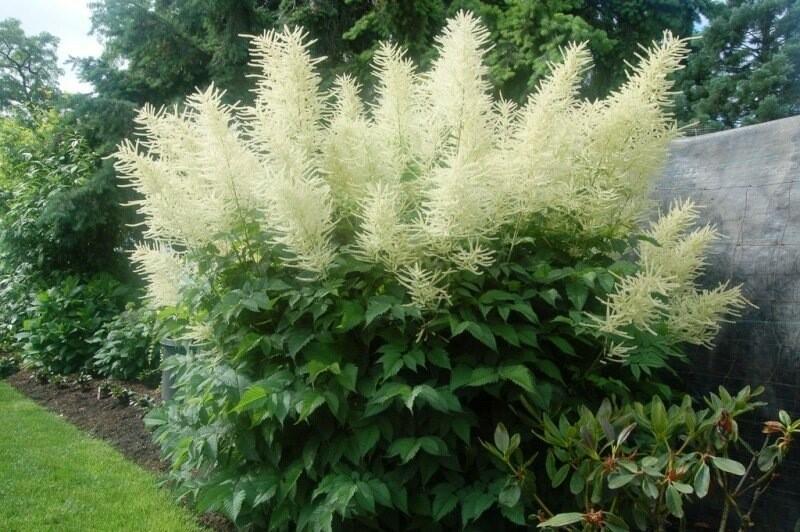 Арункус - травянистый многолетник с белыми пушистыми цветками