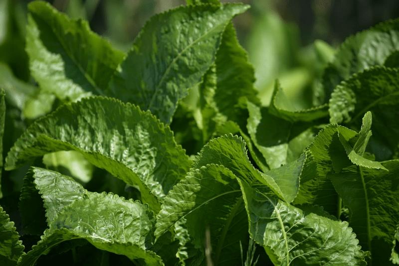 Хрен не так прост в выращивании, хотя агротехника не особо сложная. Правила посадки и полезные свойства овоща