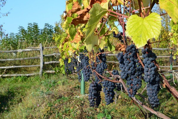 Как правильно заложить новый молодой виноградник на дачном участке.