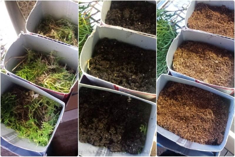 Как размножить тую и можжевельник зимой - эффективный простой способ, с фото
