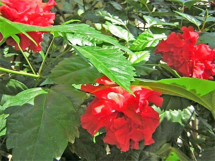 Как ухаживать за китайской розой, чтобы цвела, не переставая. Мой опыт выращивания гибискуса