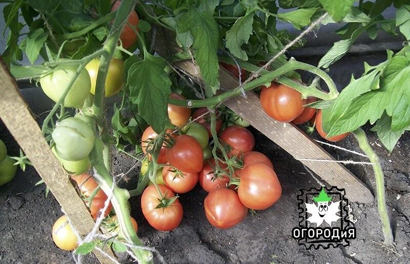 посадка и получение томатов в теплице медведева