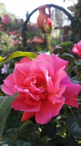 Листаете каталог РОЗ и не знаете, как выбрать розу? Рассказываю.