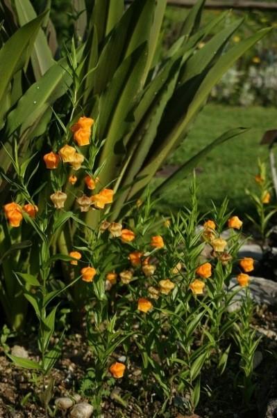 Луковичные экзоты: интересное оформление цветников