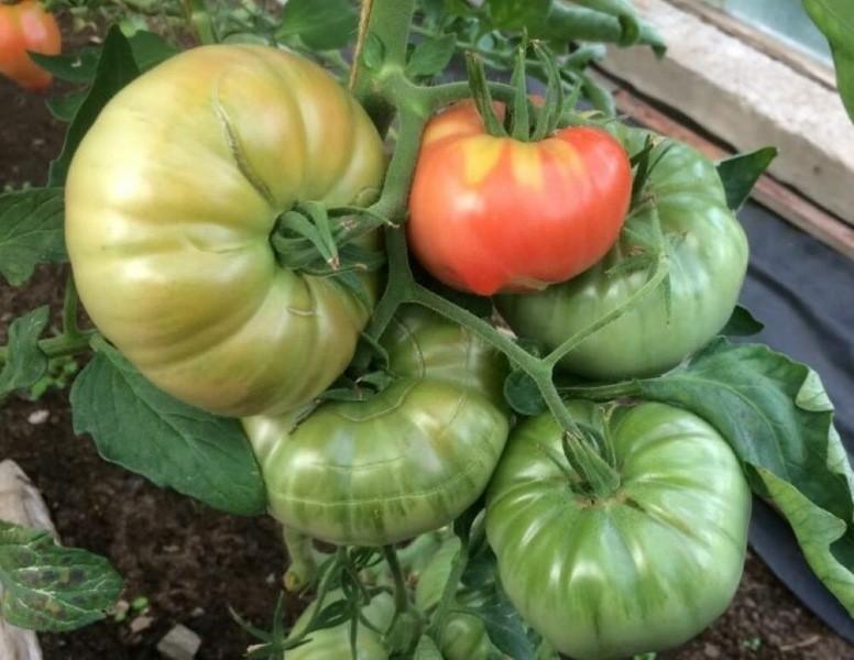 Новый сорт томатов в мою коллекцию — Сибирские шаньги