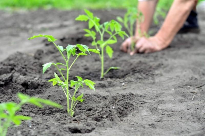 Рассказываю о том, как свёкла может помочь вырастить невероятно сладкие томаты в любом регионе страны