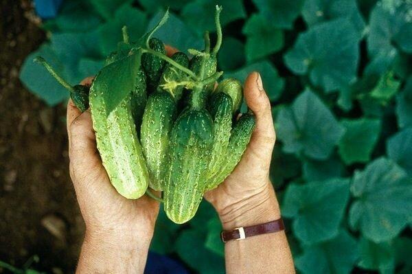 Сибирский метод: как я выращиваю ранний урожай огурцов без теплицы