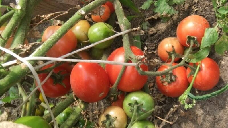 Томаты скромного роста с нескромными урожаями