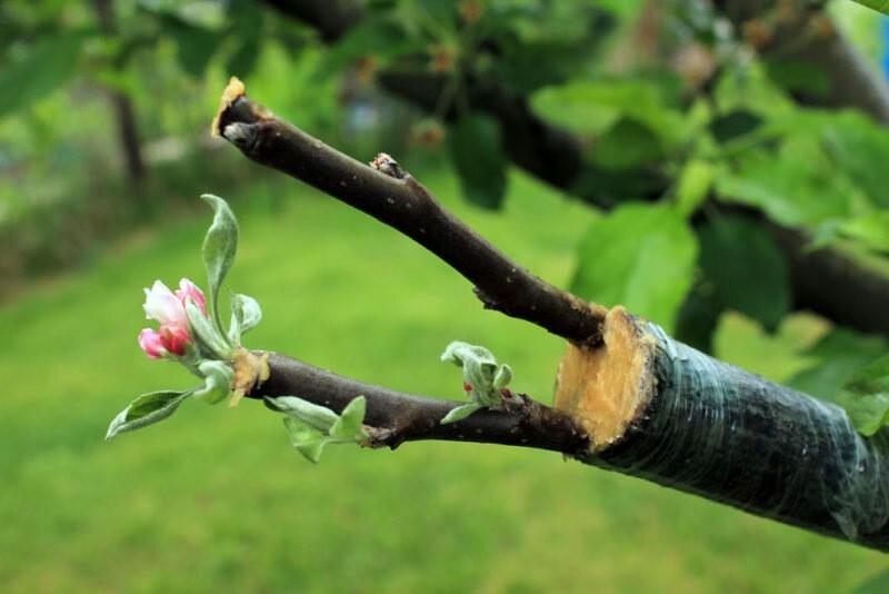 Волшебное превращение: как из привитого дичка получить сортовое дерево