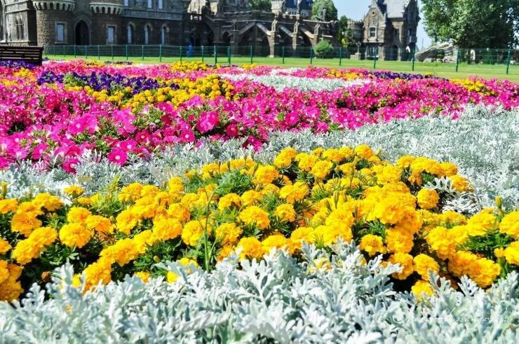 Выращивание цинерарии на рассаду в домашних условиях: как приручить неприхотливую красавицу