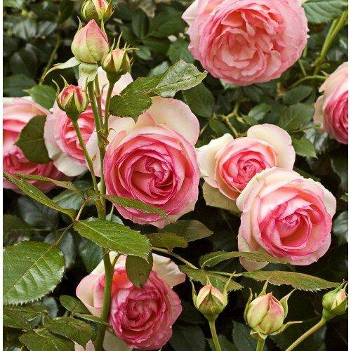 Заказ роз на весну 2021. Что в итоге?