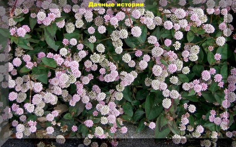 27 красивейших растений для подвесных кашпо. Ампельные растения на любой вкус