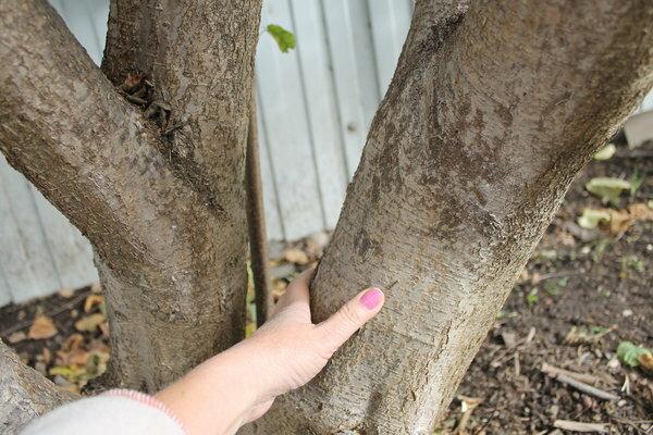 Что нужно знать, если решите посадить орех фундук на своем участке
