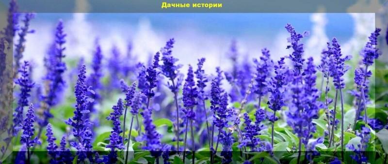 Цветник который сам себя засевает. Более тридцати цветов, которые хорошо размножаются самосевом