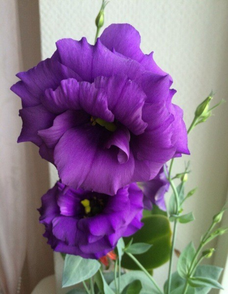 Эустома. Красивейшее растение, но я его никогда не посажу. Рассказываю почему