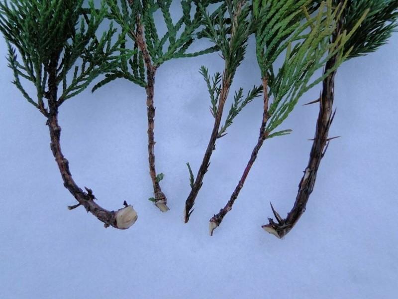Январь — самое лучшее время для размножения хвойных растений на вашем участке.