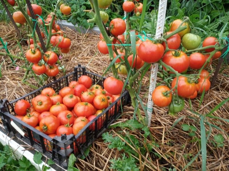 Кистевые томаты, которые посажу в этом году в теплицу