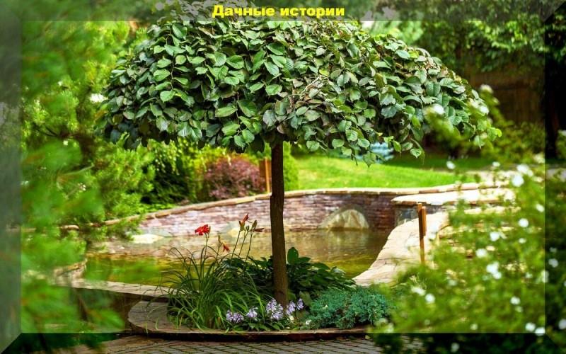 Красивые и необычные. Низкорослые деревья и кустарники - украшение любого участка