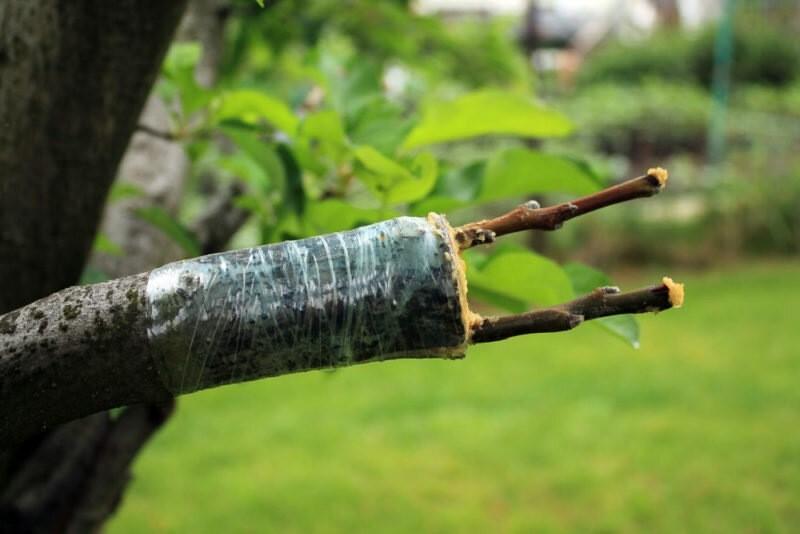 Паразитарная прививка – самый простой и безопасной способ размножения плодовых деревьев