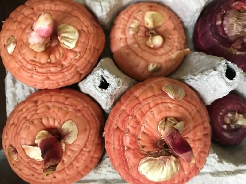 Положила луковицы гладиолусов весной так, как подсказал опытный цветовод и получила в 3 раза больше цветов – показываю