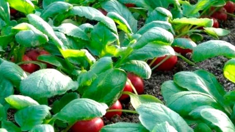 Редиска: секрет большого урожая