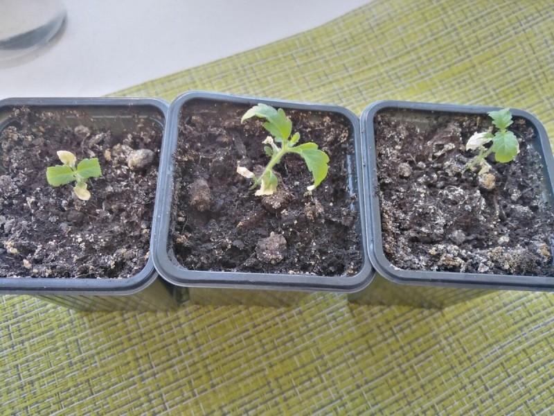 Стоит ли сеять цветы на рассаду в январе и феврале? Я и обжигалась, и радовалась: о плюсах и минусах зимнего посева начистоту