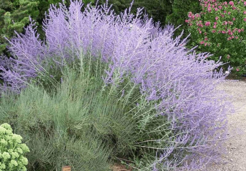 Тонкости выращивания лаванды в саду