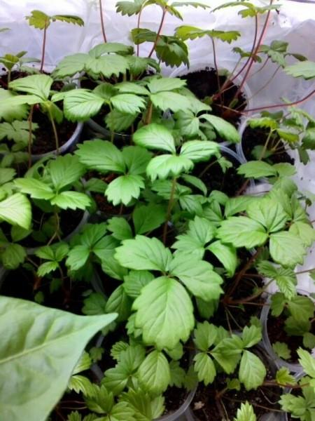Земляника из семян: сложно только в первый раз