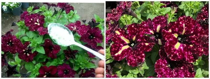 6 правил как вырастить красивую и пышно цветущую петунию.