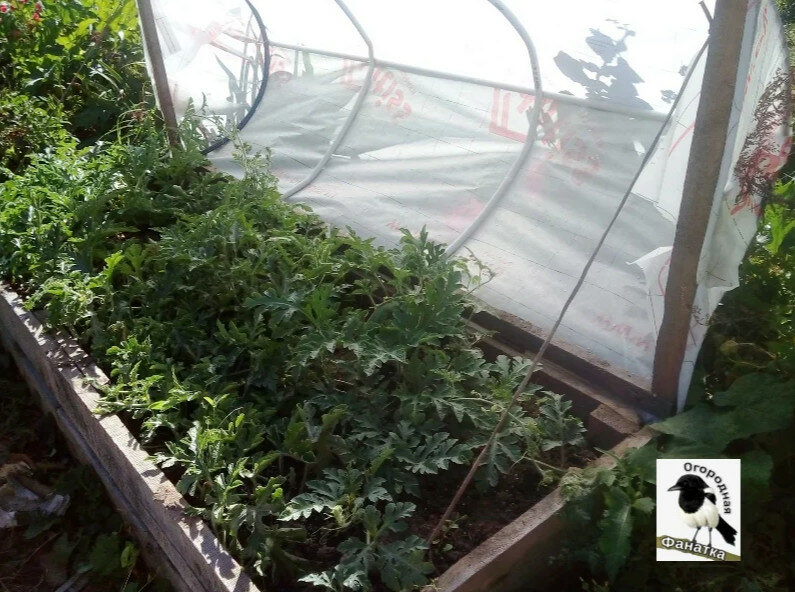 Что нового я применила на своем огороде в прошедшем сезоне. Ноу-хау местного масштаба. В этом году буду сажать точно также