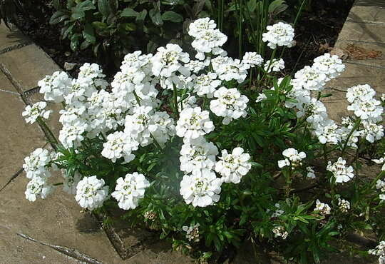 Цветок для ленивых: великолепный иберис