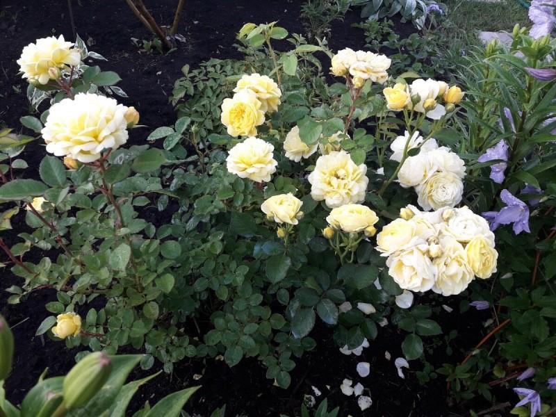 Идеальная роза флорибунда для вашего розария