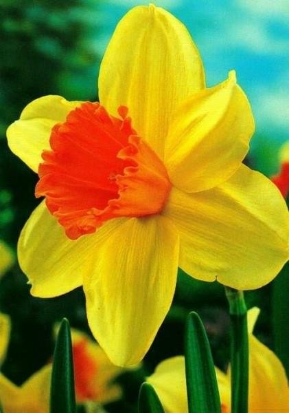 Яркие нарциссы: тонкости ухода за весенними цветами