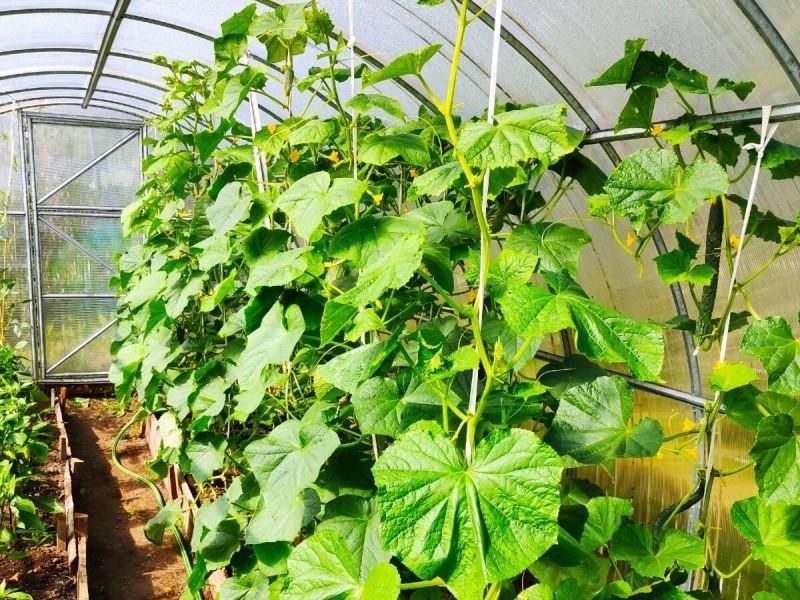 Как нам удаётся сажая 6 семян огурцов, собирать 100 кг урожая за сезон