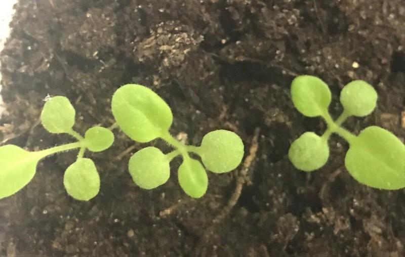 Как спасти рассаду, если всходы замерли и не растут: 3 причины и способы их устранения