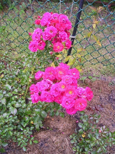 Кто ты, прекрасная незнакомка? Определяем пересортные розы!