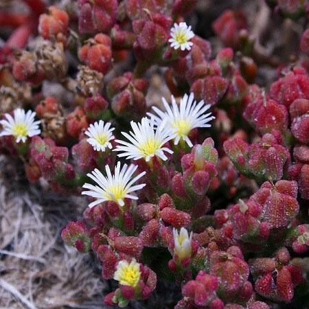 Мезембриантемум - стеклянные цветы в саду