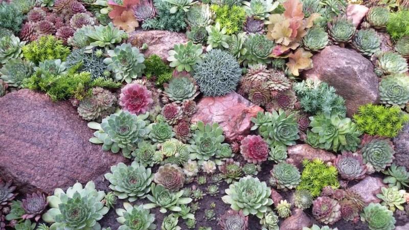 Молодило: каменные розы в саду