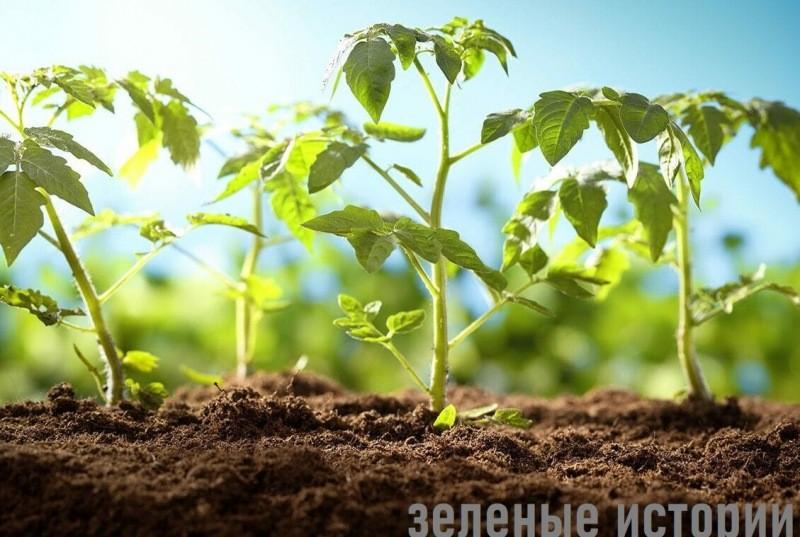 Не получалось вырастить коренастую рассаду помидоров, пока не узнала один секрет. Делюсь с вами