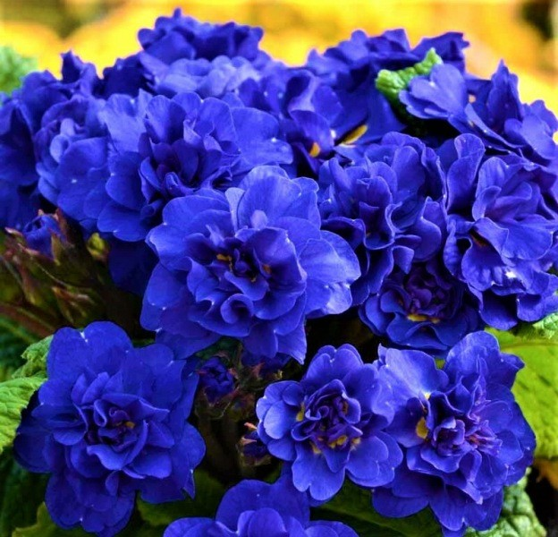 Неприхотливые морозостойкие цветы, которые не уступают по красоте даже розам
